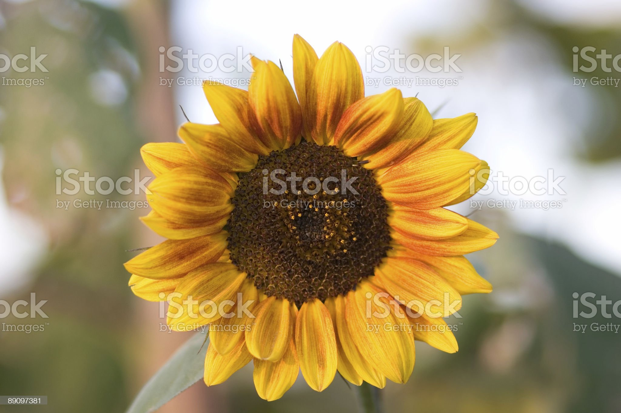 Sunflower with Clipping Path royalty-free stock photo