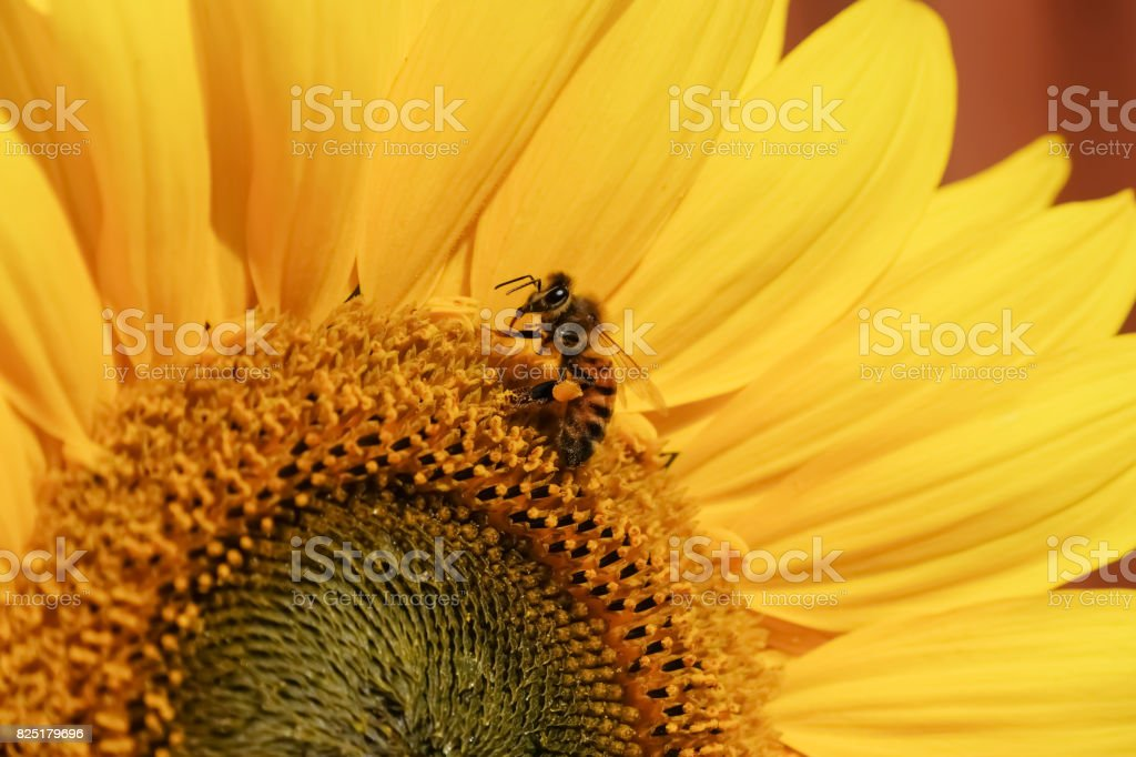 Sunflower with Common Wasp stock photo