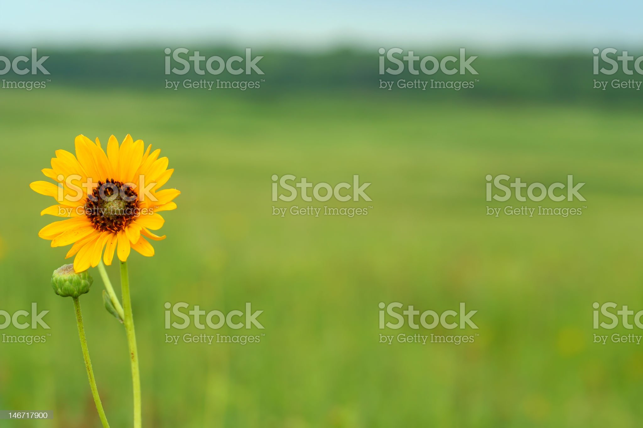 sunflower with copy space royalty-free stock photo