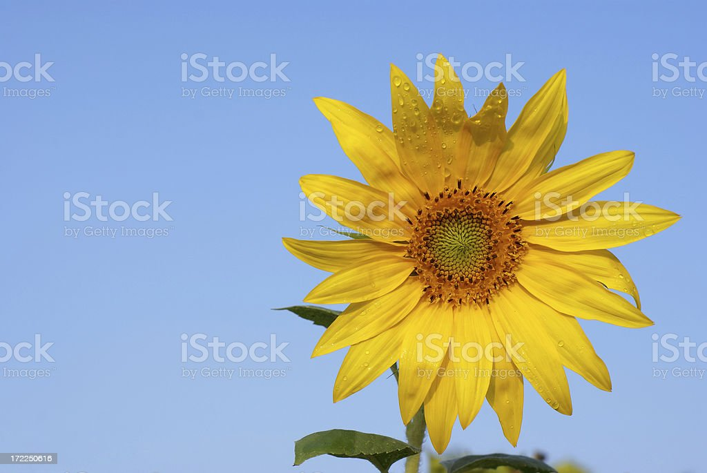 Sunflower with dew drops stock photo
