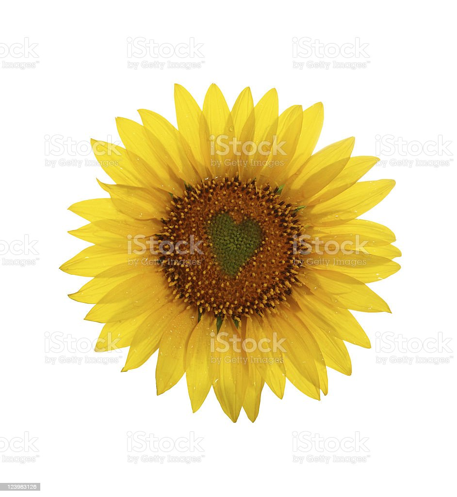 Sunflower with heart in center stock photo
