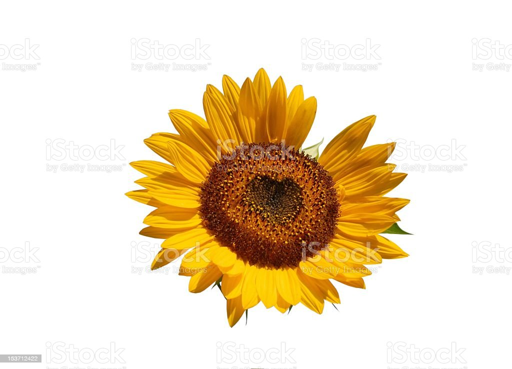 Sunflower with heart stock photo