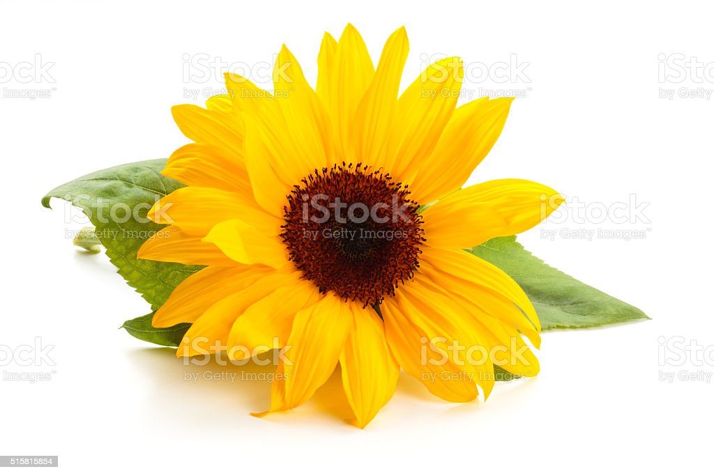 Sunflower with leaves. stock photo