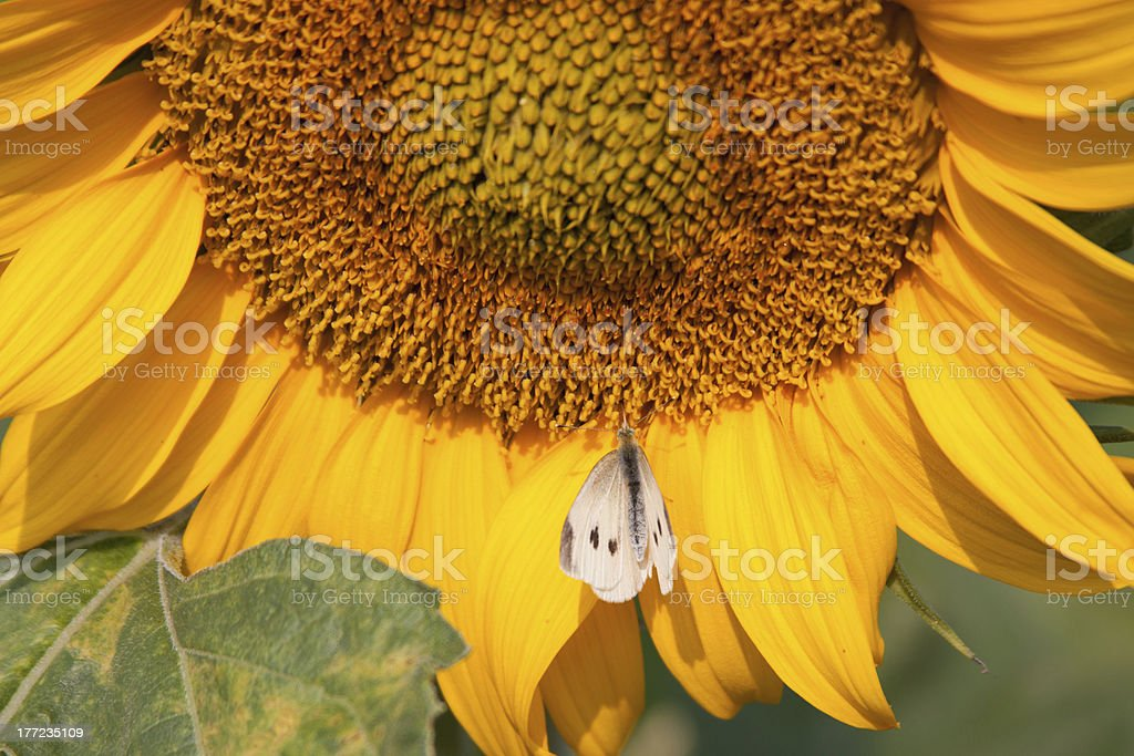 Sunflower with moth royalty-free stock photo