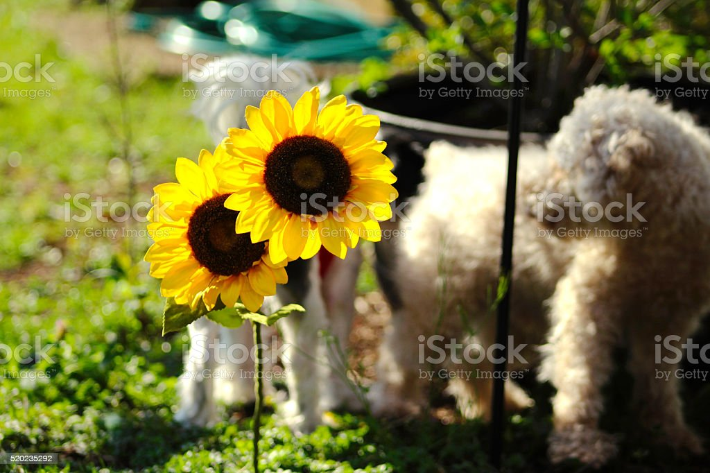 Sunflower with Poodle in the Background royalty-free stock photo