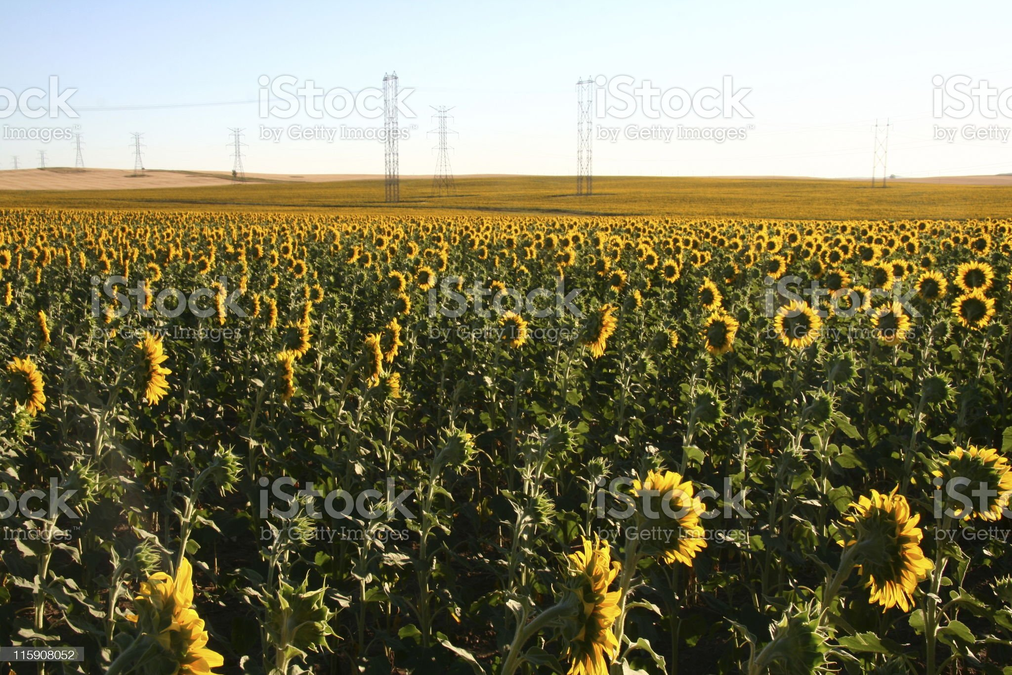 Sunflower with Powerlines royalty-free stock photo