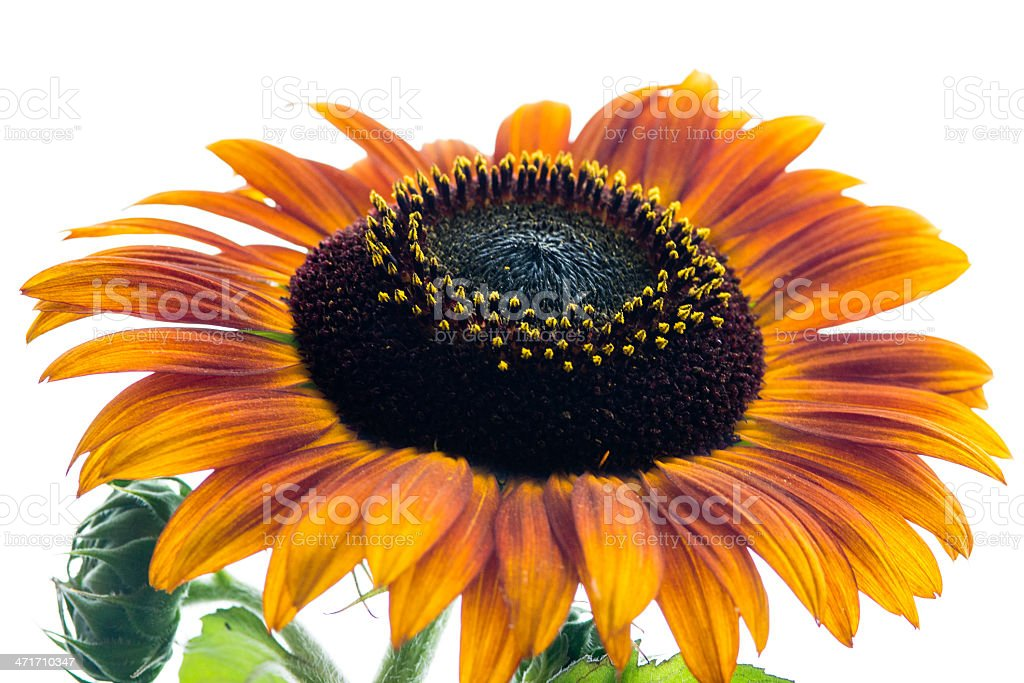 Sunflower with seeds and pollen isolated on white royalty-free stock photo
