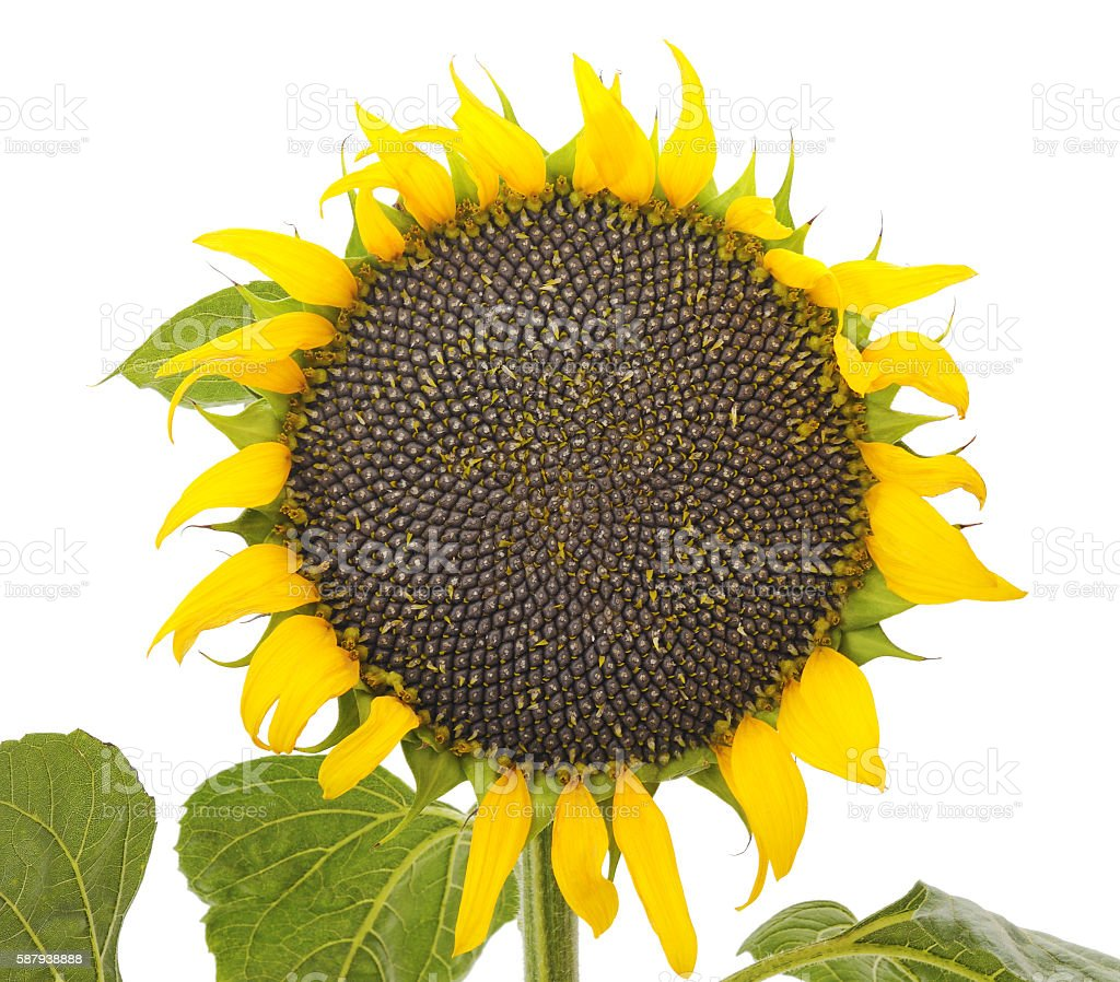 Sunflower with seeds. stock photo