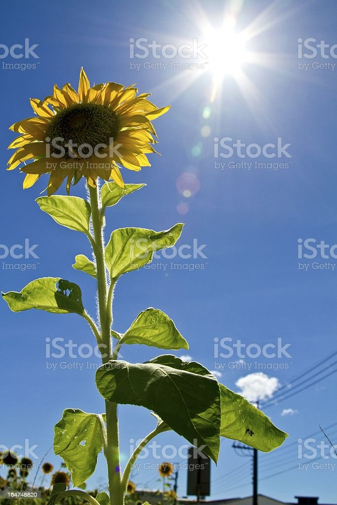 sunflower with sun royalty-free stock photo