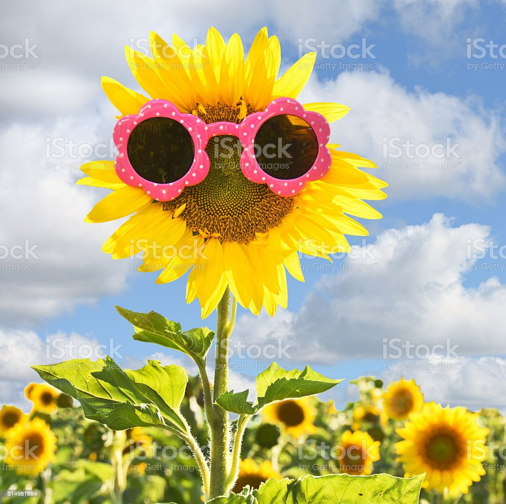 sunflower with sunglasses stock photo