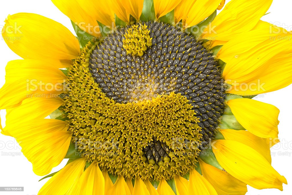 sunflower with the symbol of yin-yang royalty-free stock photo
