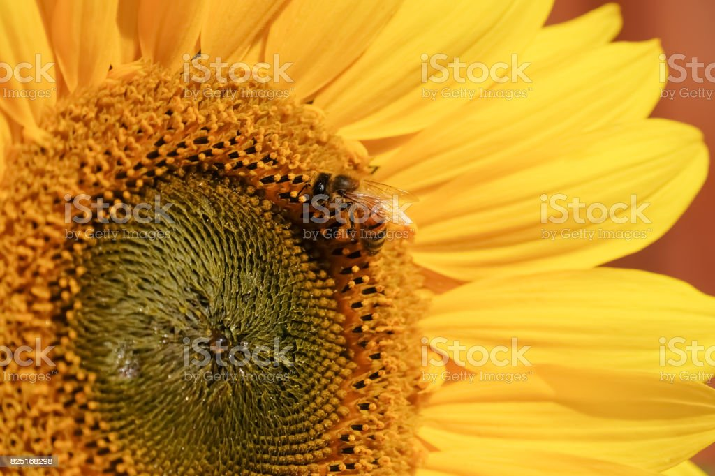 Sunflower with wasp feeding on seed stock photo