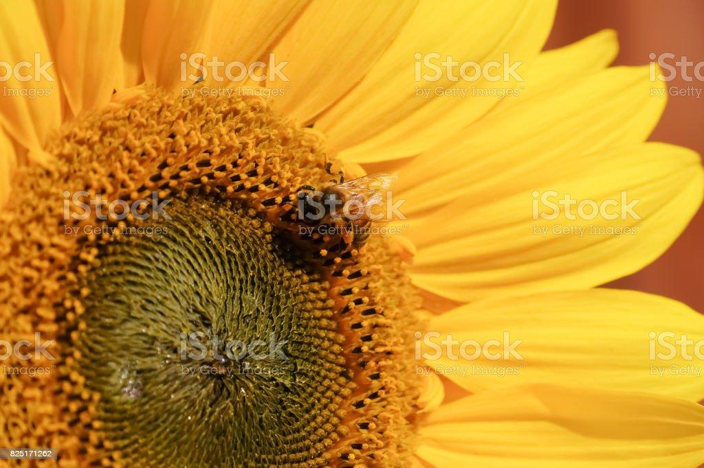 Sunflower with wasp feeding pollen stock photo