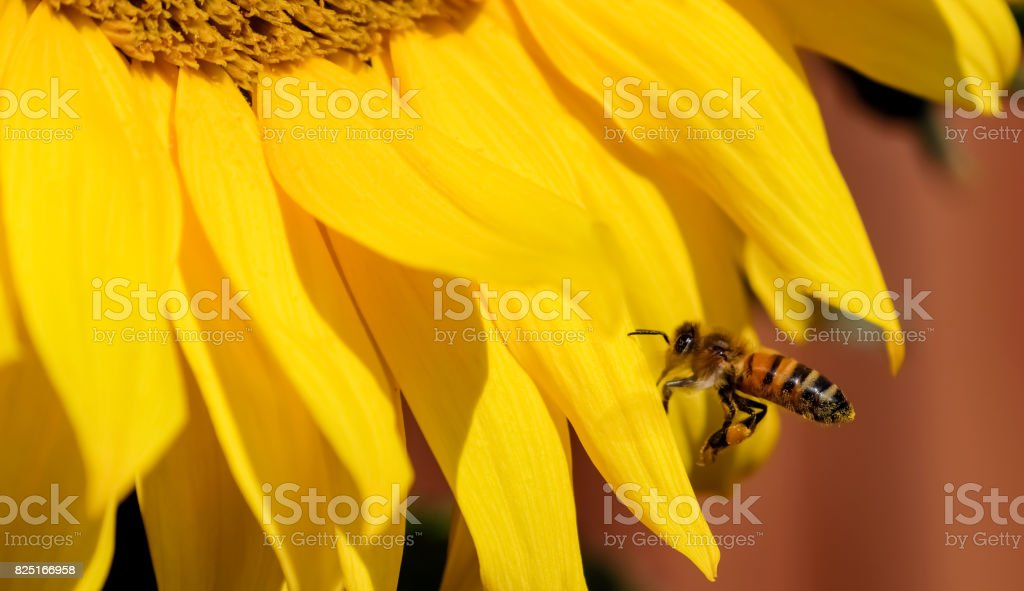 Sunflower with wasp on petal stock photo