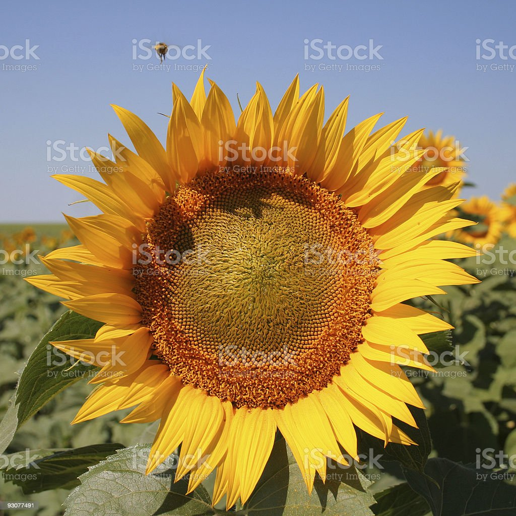 Sunflower with wasp royalty-free stock photo