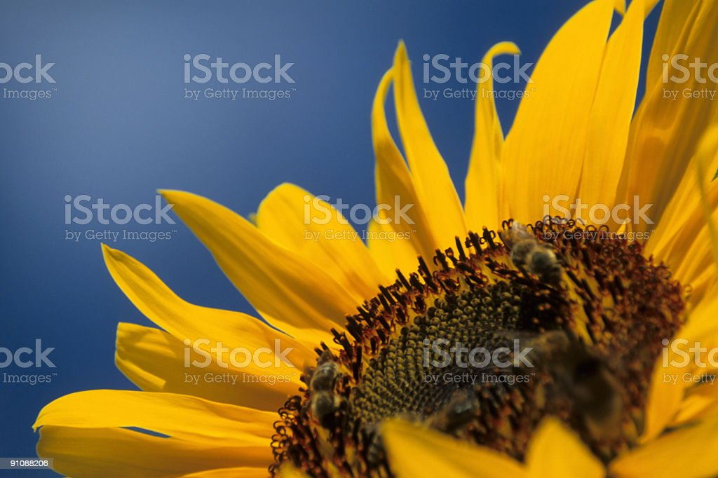Sunflower XXLarge stock photo