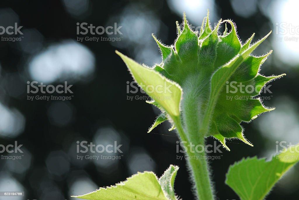 Słonecznik młody bud kwitnących, makro, zbliżenie zbiór zdjęć royalty-free