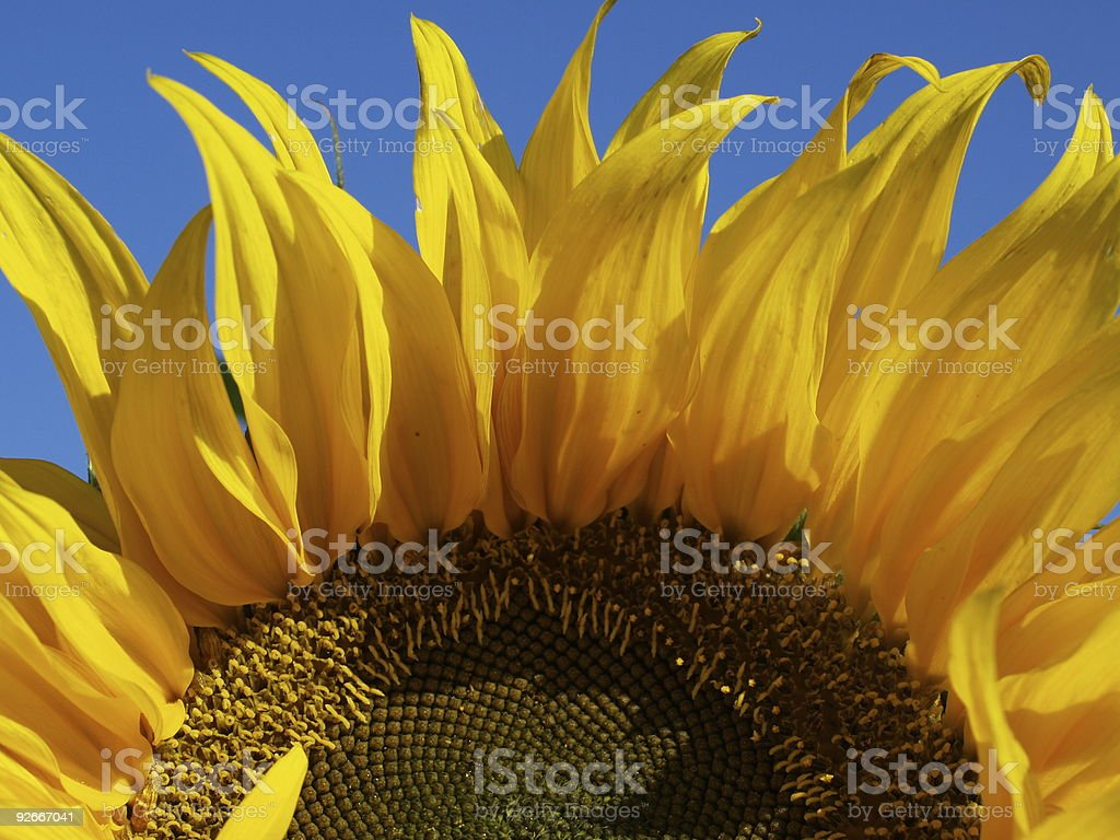 Sunflowerdetail royalty-free stock photo