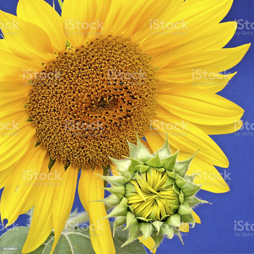 sunflower-mother with baby royalty-free stock photo