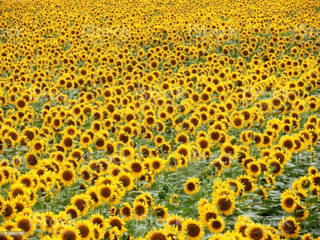 Sunflowers 1 stock photo
