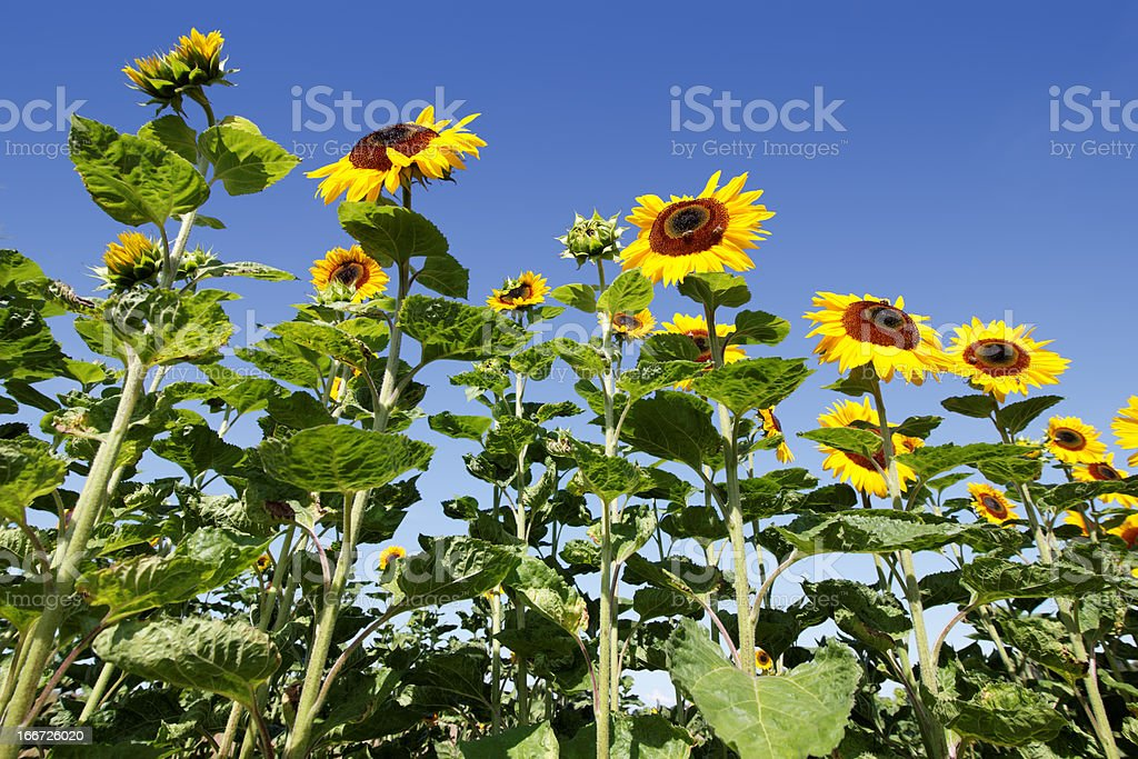 sunflowers against blue sky royalty-free stock photo