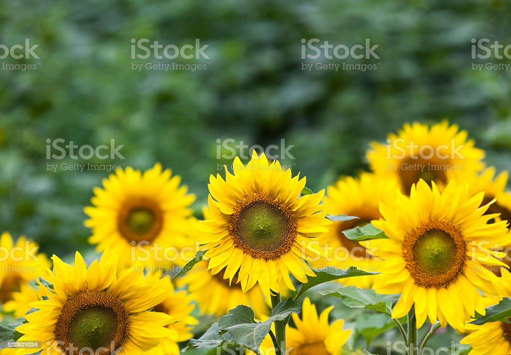 Sunflowers against green background stock photo