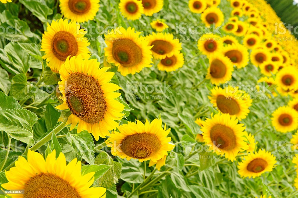 Sunflowers all around royalty-free stock photo