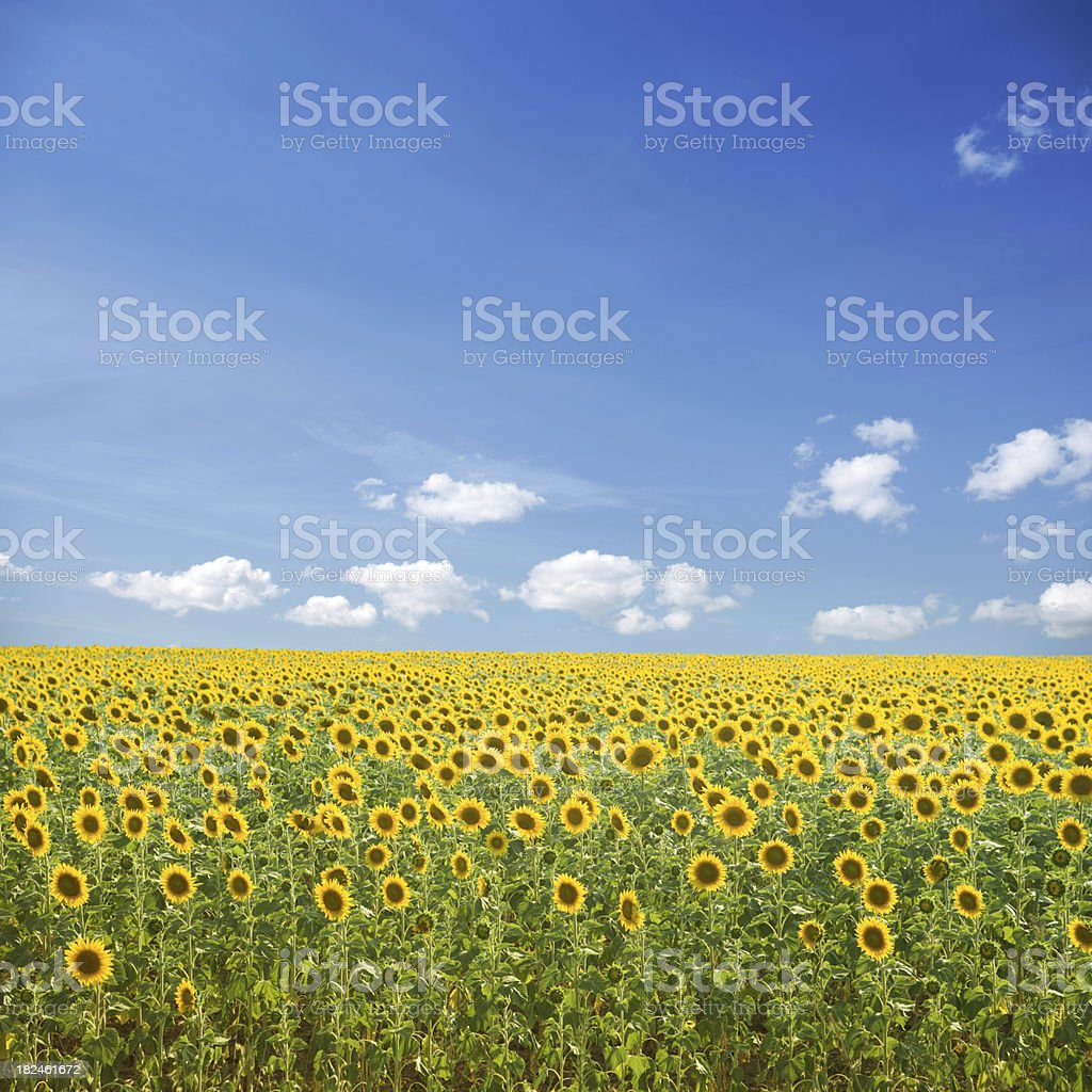 Sunflowers and blue sky royalty-free stock photo