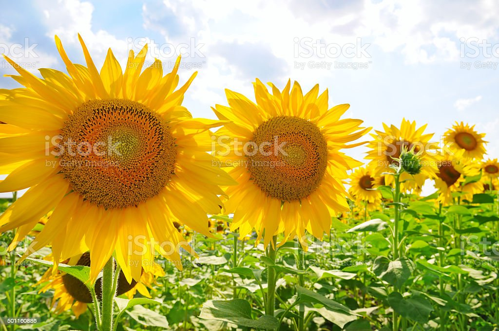 sunflowers and blue sky stock photo