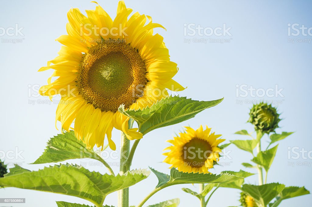 Sunflowers and bright sky background stock photo