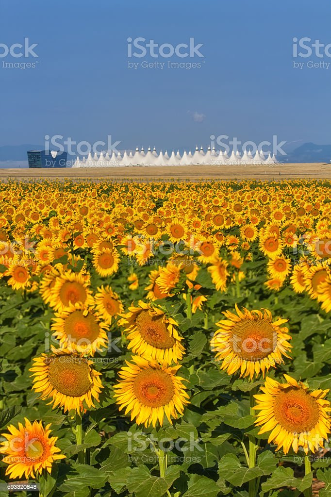 Sunflowers and Denver International Airport stock photo