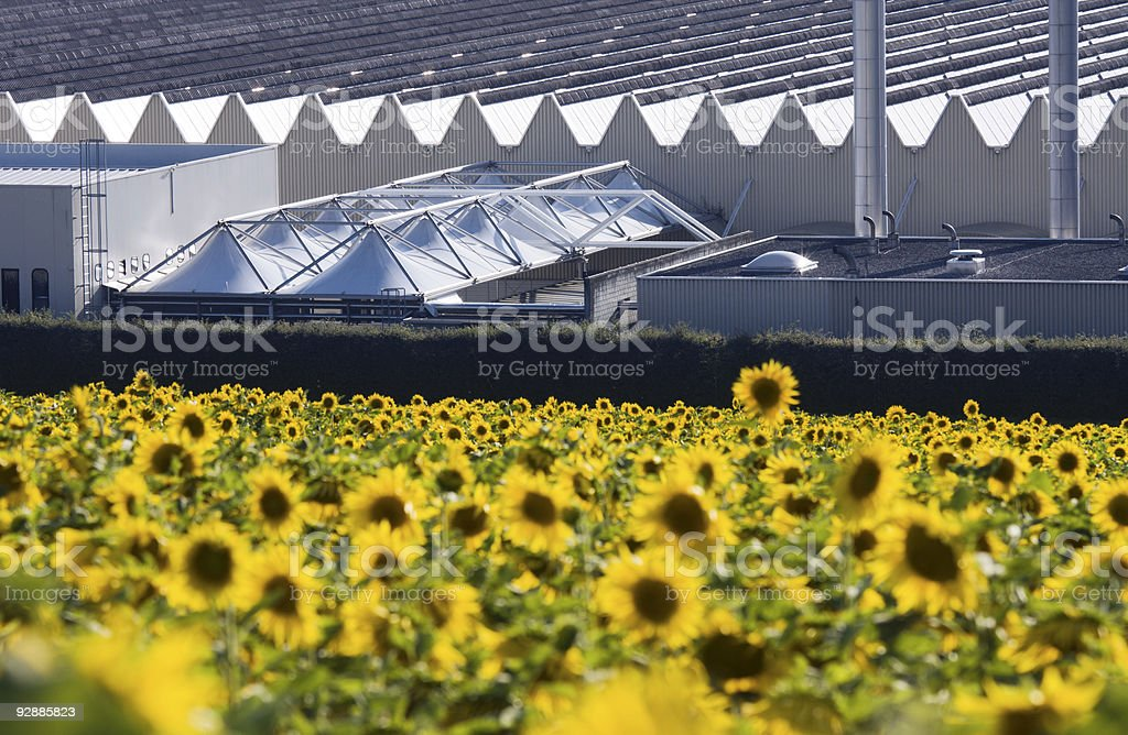 Sunflowers and industry stock photo