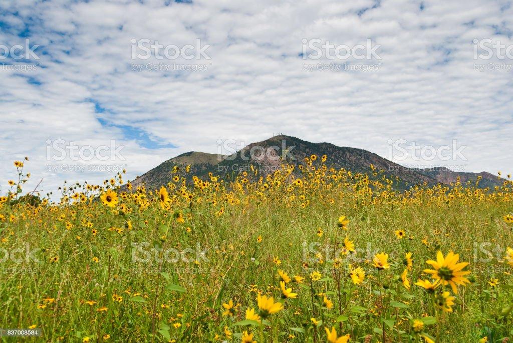 Sunflowers and Mount Elden stock photo