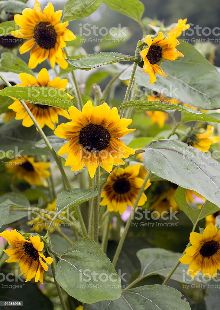 Sunflowers and Rain stock photo