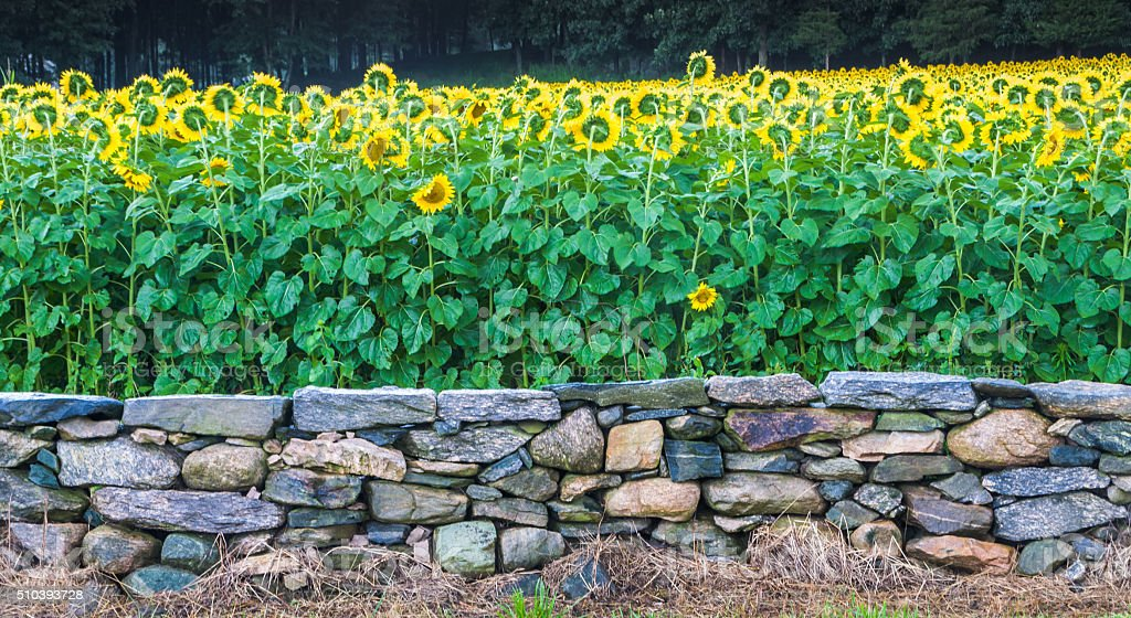 Sunflowers and Stone Wall stock photo