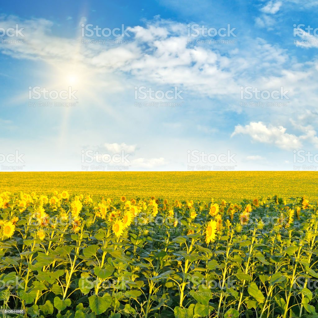 sunflowers and sun on cloudy sky stock photo