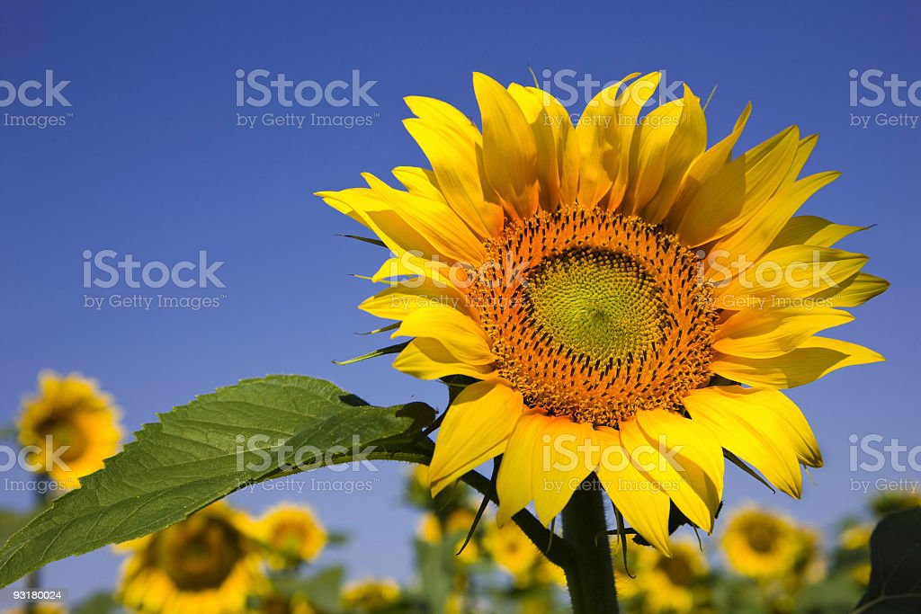 Sunflowers and the blue sky royalty-free stock photo