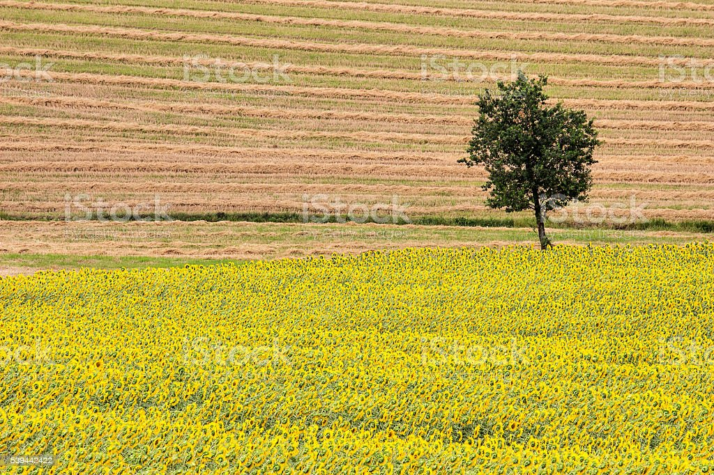 Sunflowers and Wheat Field with Oak Tree stock photo