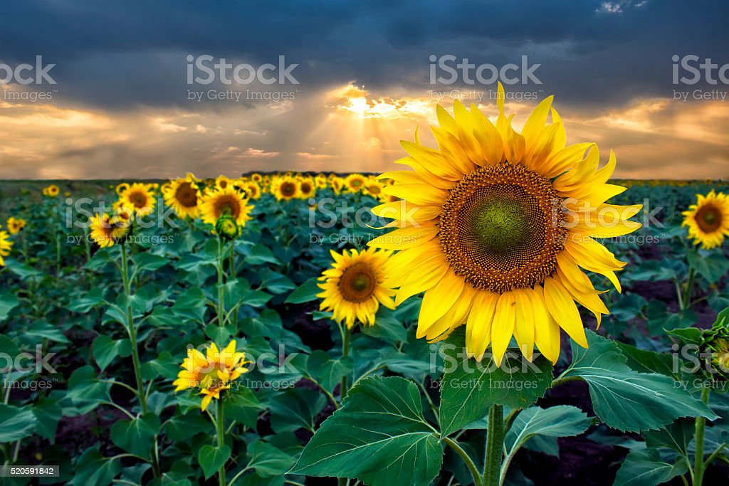 Sunflowers at Sunset in the Field stock photo