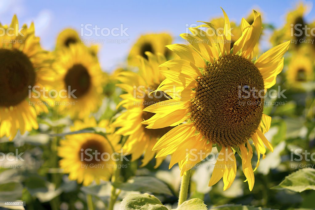 sunflowers at the field in summer stock photo