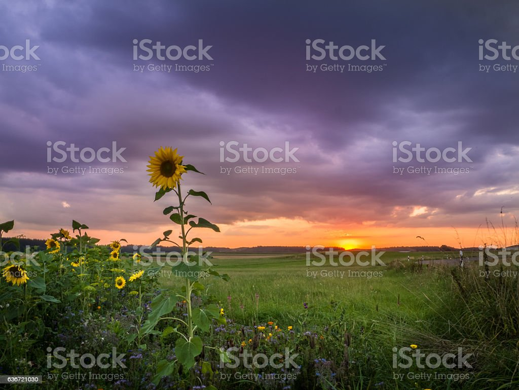 Sunflowers at the Sunset stock photo