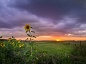 Sunflowers at the Sunset