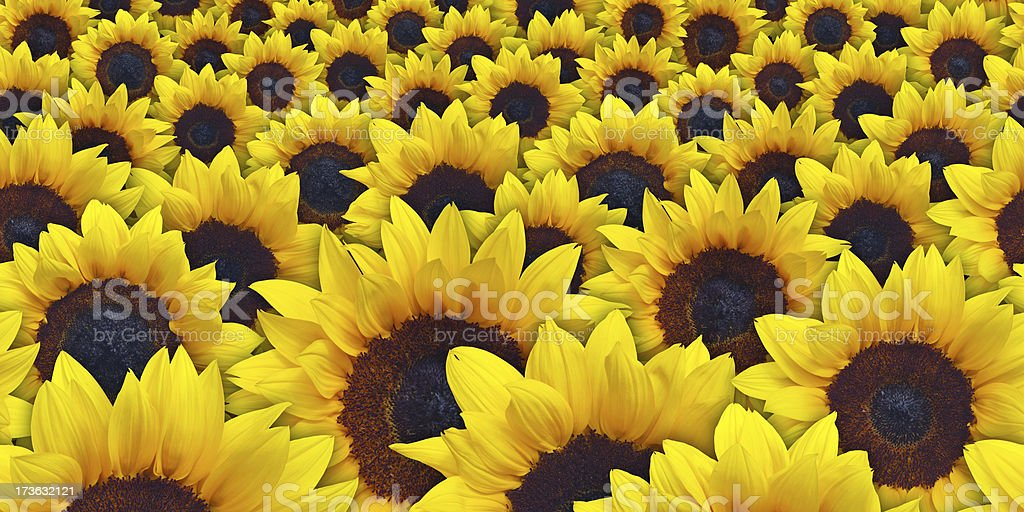 Sunflowers Background - Tileable royalty-free stock photo