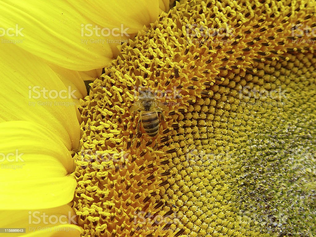 Sunflowers Bee royalty-free stock photo