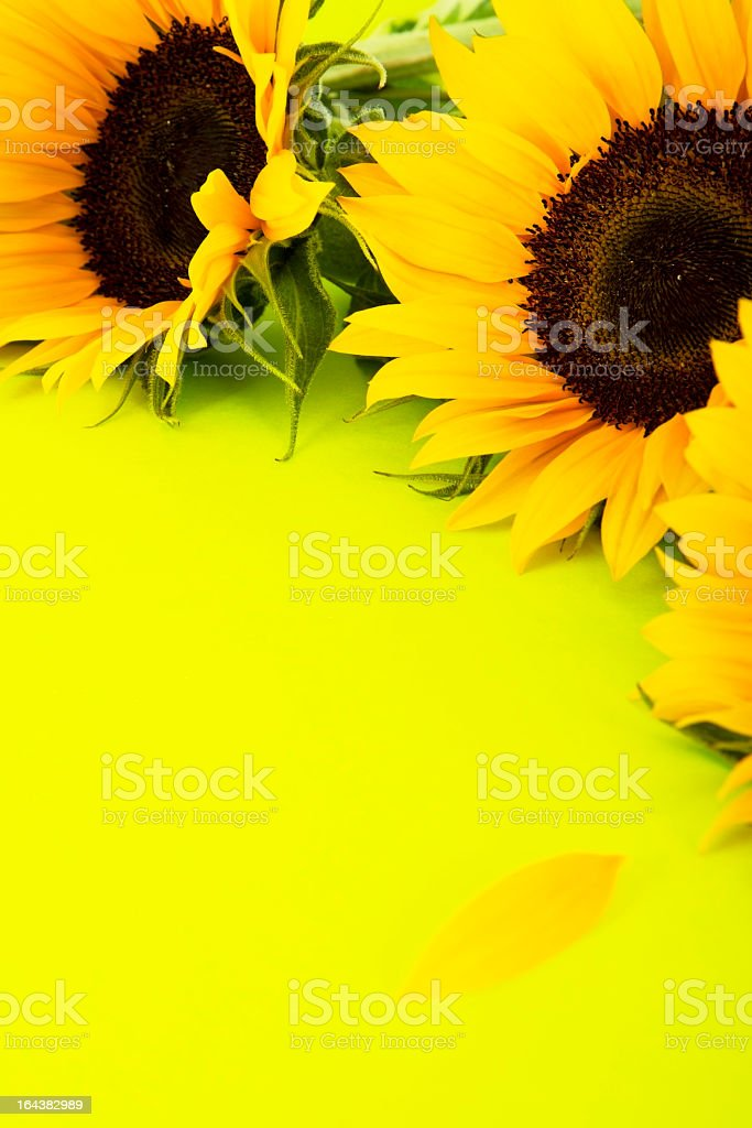 Sunflowers Border On Green Background royalty-free stock photo