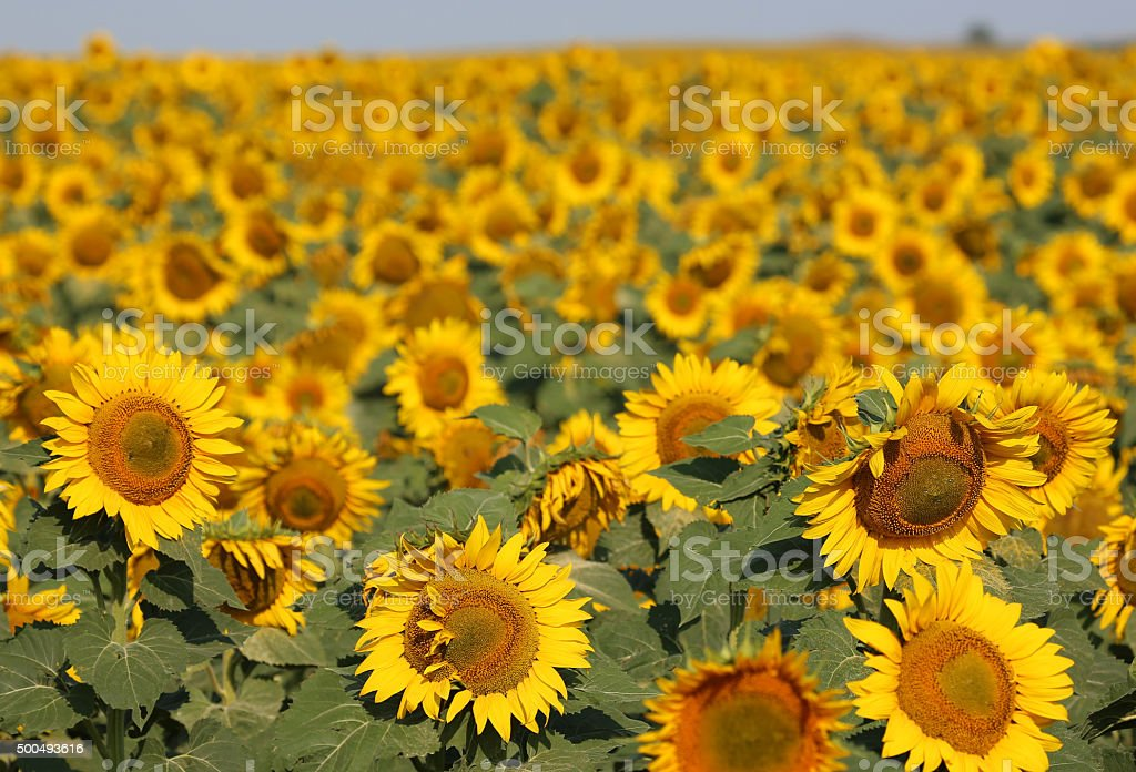 Sunflowers close up stock photo
