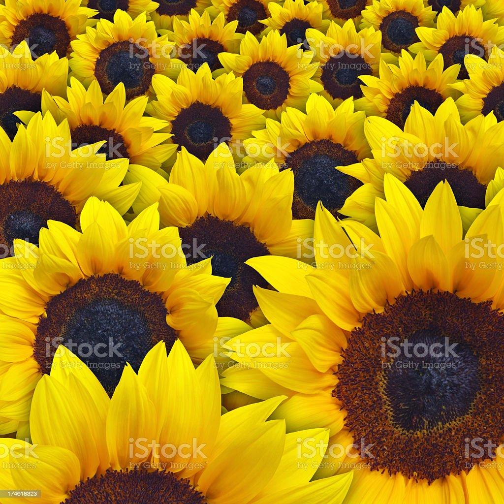 Sunflowers Closeup royalty-free stock photo