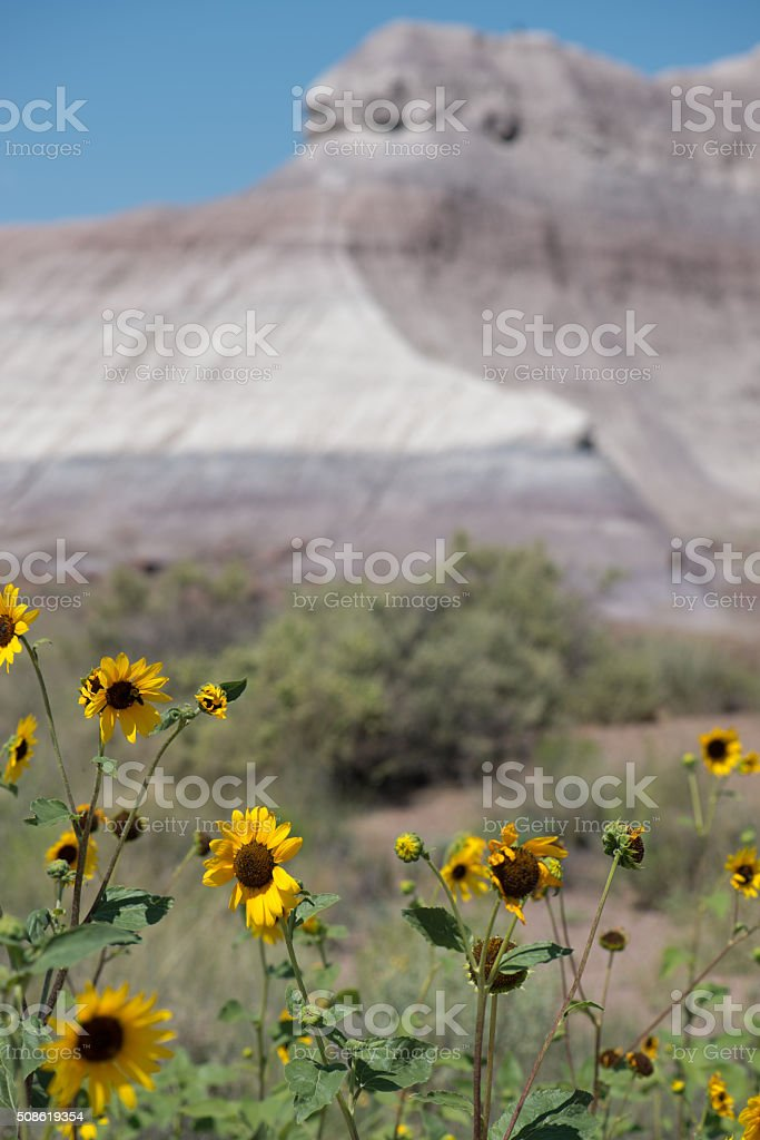Sunflowers dancing in Death Valley stock photo
