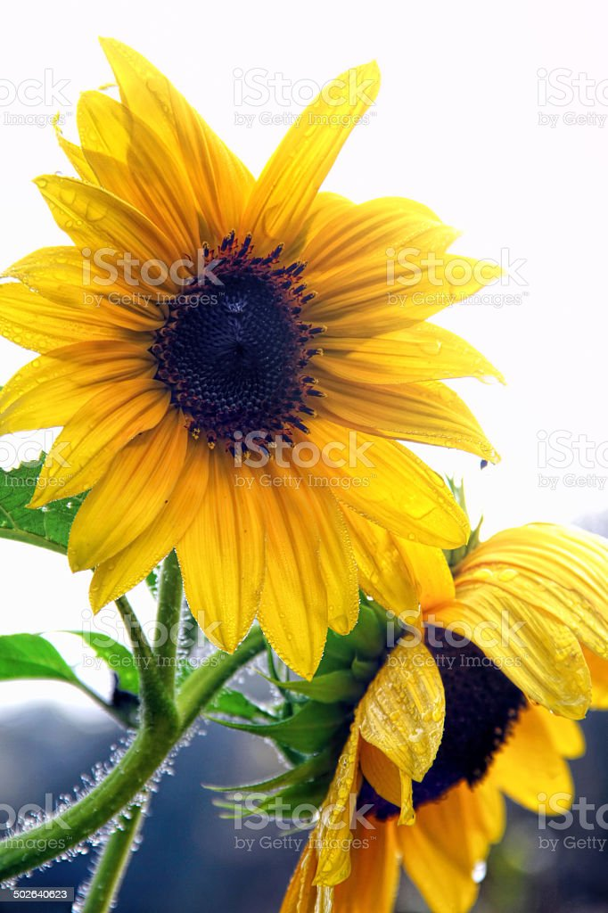 Sunflowers Drenched in Morning Dew stock photo