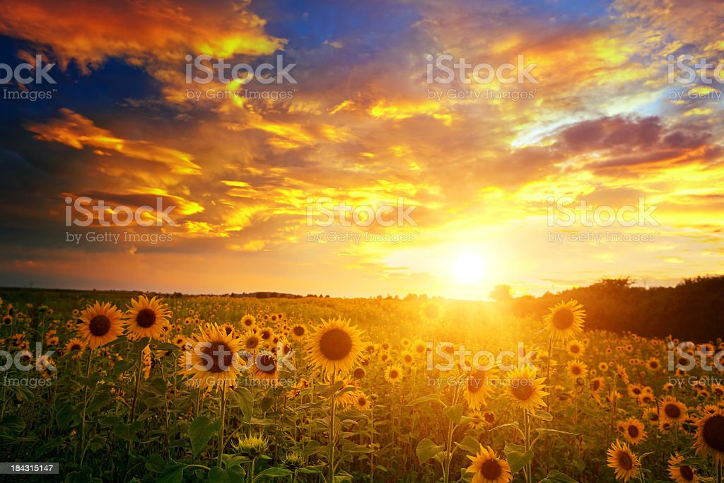 Sunflowers field and sunset sky stock photo